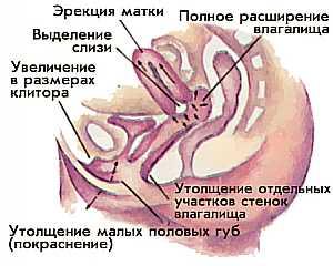 Фото клитора женщин в состоянии оргазма