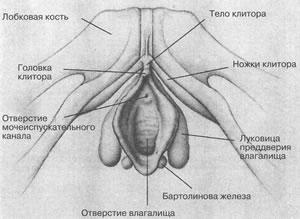 klitor-i-gde-on-nahoditsya